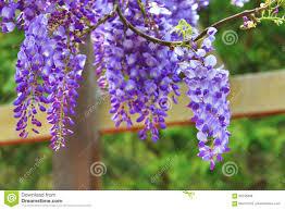 purple wisteria flowers bean tree chinese wisteria purple vine