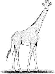 popular giraffe coloring pages best gallery co 1081 unknown