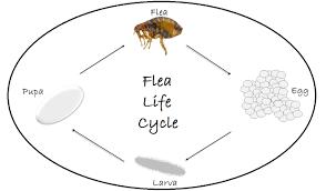 flea exterminator flea portland or vancouver wa