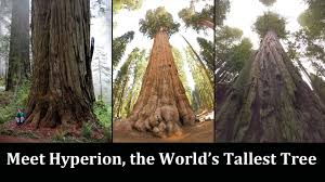 everything about the world s tallest tree you wanted to