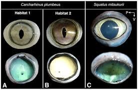 visual optics and ecomorphology of the growing shark eye a