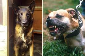 american pitbull terrier vs german shepherd police dog savaged by pit bull in u0027horrific attack u0027 forced to