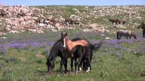 Montana wild animals images The wild horses of pryor mountain montana jpg