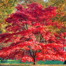 388 best japanese maples images on acer palmatum