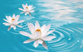 imagenes zen gratis el estado de ánimo del bokeh flores zen agua relajar fondos de