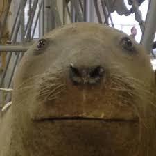 Walrus Meme - create meme walrus walrus meme walrus sea lion pictures