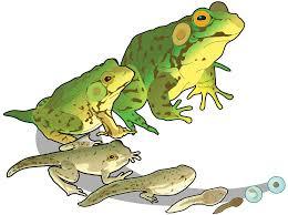 transparent clip frogs google search clip art pinterest