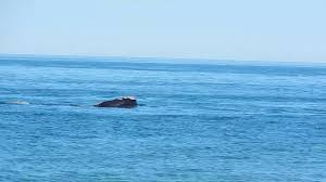 right whales off provincetown coast 4 14 17 youtube