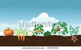 vegetable plants stock images royalty free images u0026 vectors
