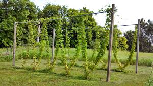 fluke brewing minnesota homebrewing hop growing diy projects