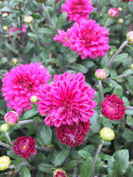 foap fall mums images pictures stock photos