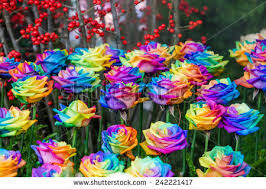 multicolored roses colorful rainbow roses flower macro rainbow stock photo 387325387