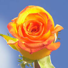 yellow roses with tips send beautiful yellow roses with orange tips online global