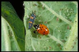 know you pests and recognize their enemies ladybugs kentucky