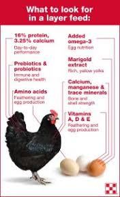 What To Feed Backyard Chickens by Is It Time To Switch Your Chickens To Layer Feed Russell Feed