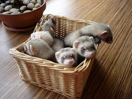 272 best ferrets hurones images on pinterest animals funny