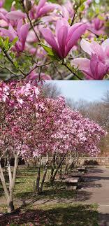 best 25 magnolia trees for sale ideas on