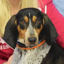 bluetick coonhound energy level view ad bluetick coonhound dog for adoption illinois huntley usa