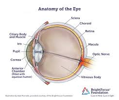 Eye Anatomy And Physiology Anatomy And Structure Of The Eye Brightfocus Foundation