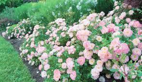 drift roses drift roses area carpet of color for s day