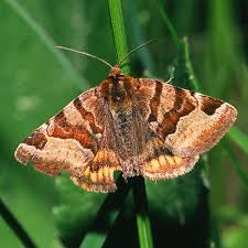 burnet companion moth wikipedia