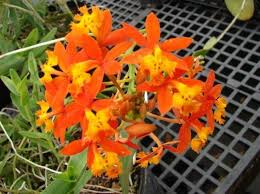 orchid plants for sale unique plants for sale in citrus county nursery cassia