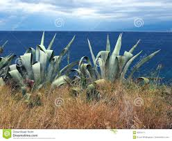 plants native to north america large agave plants beside sea stock photo image 92632111