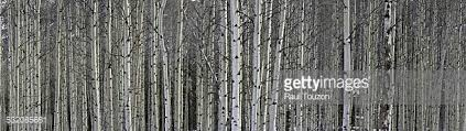 aspen tree wallpaper stock photos and pictures getty images