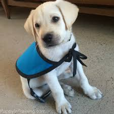 Leader Dogs For The Blind Rochester Michigan The Puppy Raisers Guide To Raising And Training Service Dog Puppies