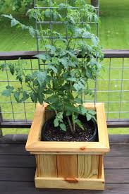 the tomato bucket experiment an attractive new twist on growing