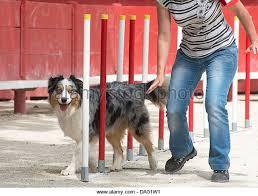 australian shepherd agility australian shepherd dog jumping stock photos u0026 australian shepherd