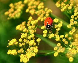 8 plants for attracting ladybugs to your garden