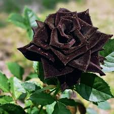 Black Rose Flower Black Rose 49 Best Hd Wallpapers Of Black Rose High Quality