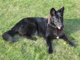 belgian shepherd laekenois rescue free images grass pet brown vertebrate tongue dog breed