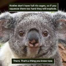 Meme Generator Koala - koala memes google search funny stuff pinterest memes and animal