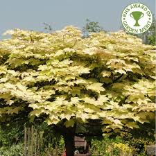 acer pseudoplatanus brilliantissimum buy sycamore tree buy acer