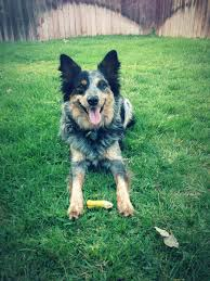 australian shepherd australian cattle dog mix my dog is featured on dailypuppy com today dusty the australian