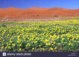 flowers in sossusvlei namib desert namibia landscape stock
