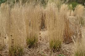look after grasses knoll gardens ornamental grasses and