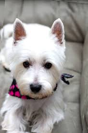 images of westie hair cuts westie short haircut find hairstyle