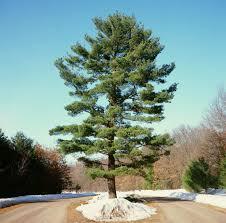 white pine trees glt s grow white pine threat wglt