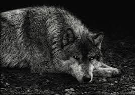other resting wolf white wilderness predator grey black pictures