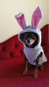 Halloween Costumes Yorkies Dogs Small Dog Clothes Bunny Halloween Costume Dog Hoodie Secret