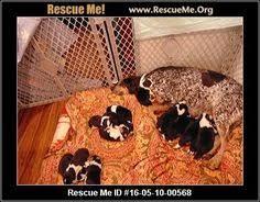 bluetick coonhound rescue california north carolina bluetick coonhound rescue u2015 adoptions u2015 rescueme