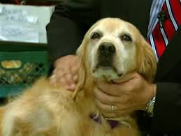 Comfort Golden Retriever Breeders Use Of Therapy Dog Rosie The Golden Retriever Being Appealed By