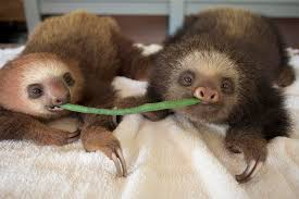 hoffmanns two toed sloth orphans photograph by suzi eszterhas