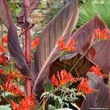cana lilly tropicanna canna canna indica american