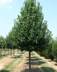 chanticleer pear ideally suited for avenue plantings feature