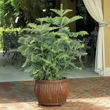 Planting Christmas Tree Seedlings Q U0026a Norfolk Island Pines Hgtv