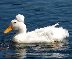 crested duck modern farming methods